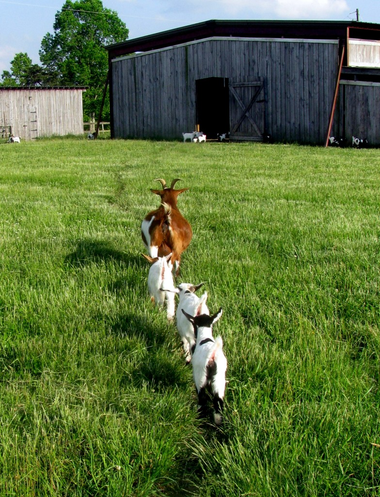 Santa Fe with triplets going to barn