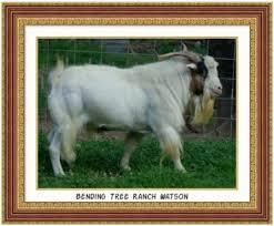 Sire of Wonder - Bending Tree Ranch Watson