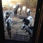Doelings at the front door