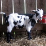 Gift doeling two