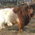 Beechkeld-0178, sire of Moonlight Farms Santa Fe