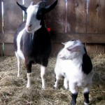 Super girl and and Adonis doeling